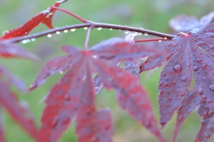 Rain on the maple leaves